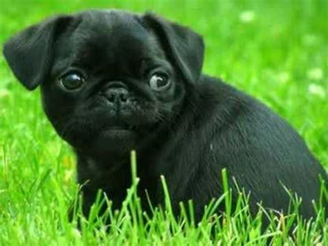 black pug puppies pictures pics of baby pugs