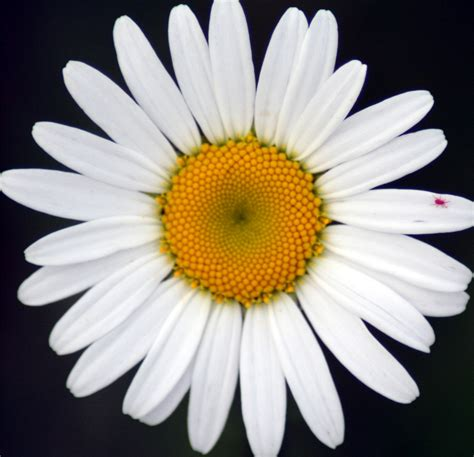 daisies flower flower picture daisy flower 4