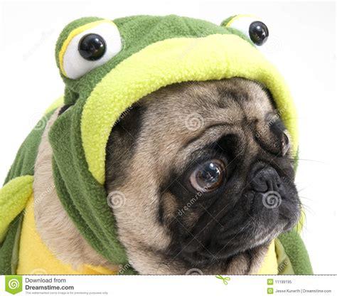 pug frog costume frog pug royalty free stock photo image 11199195