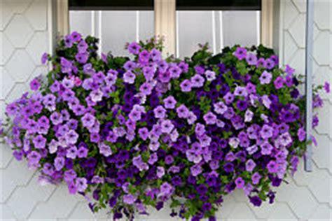 surfinie fiori fiori da balcone pendenti avr 242 cura di te