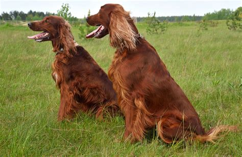 dog breeds similar to red setter irish setter personality history and pictures pawculture