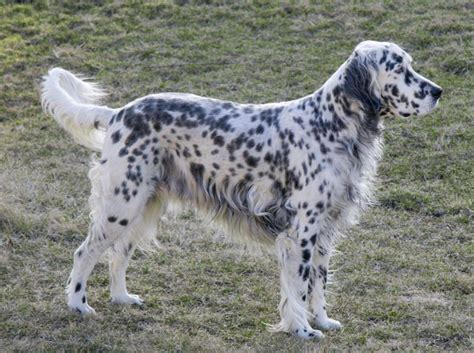 english setter dog wiki english setter sakc dogs wiki fandom powered by wikia
