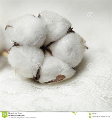 fiore di cotone pianta di cotone fiore macro immagini stock libere da