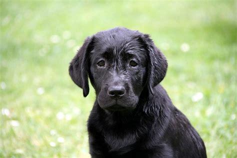 alimentazione labrador retriever la salute labrador prevenzione e cura