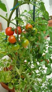 how to plant tomatoes casual cottage