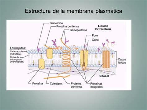 partes de la membrana celular c 233 lula iii membrana plasm 225 tica ppt video online descargar