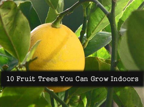 indoor fruit trees ten fruit trees you can grow indoors - Fruit Trees You Can Grow Indoors