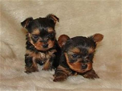 teacup yorkies in virginia terrier puppies in virginia