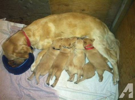 golden retrievers for sale in ma golden retrievers for sale in athol massachusetts classified americanlisted