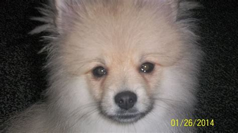 white fluffy teacup pomeranian puppies fluffy pomeranian puppies quotes