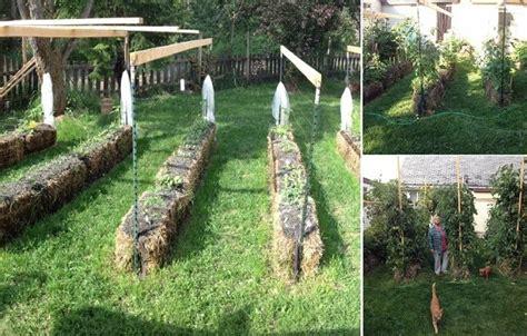 grow  foot tall tomato plants  straw bales