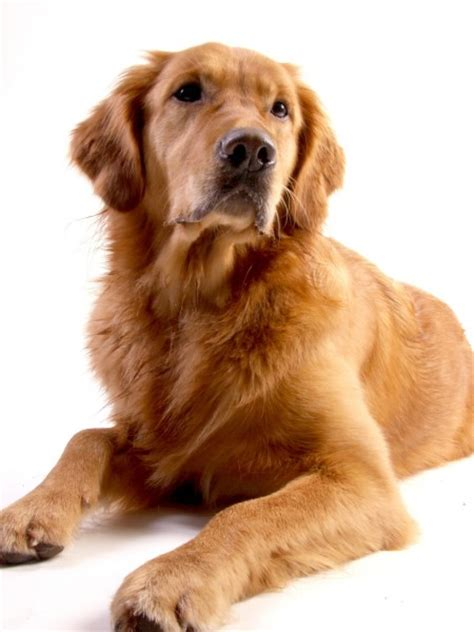 are golden retrievers expensive 11 most expensive breeds to maintain in the world obama has 1 insider monkey