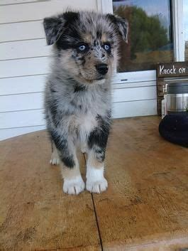 where to buy pomsky puppies 25 best ideas about pomsky for sale on pomsky puppies for sale pomsky