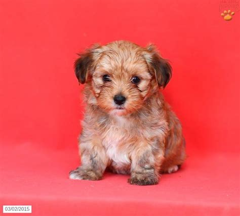 morkie puppies for sale in louisiana 17 best ideas about morkie puppies for sale on morkies for sale yorkie