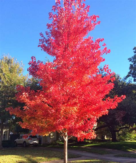 maple tree pros and cons plants for dallas your source for the best landscape plant information for the dallas ft