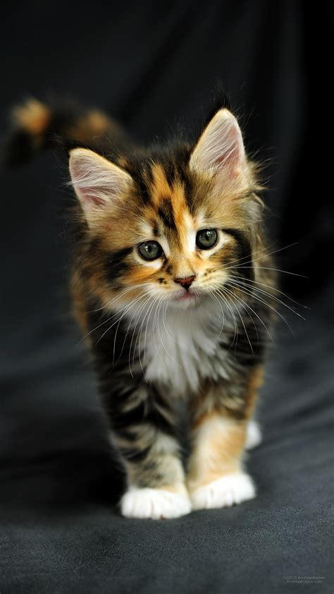 maine coon tricolor kitten
