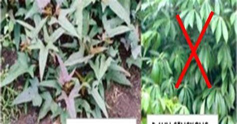 Teh Daun Afrika Curah yoyok hariyono obat dbd dengan daun ular ubi jalar