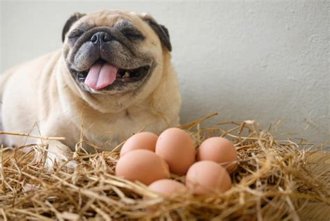 eggshells for dogs can dogs eat eggs detailed information