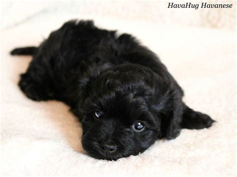 Do Havanese Shed A Lot by 1000 Ideas About Havanese Puppies For Sale On