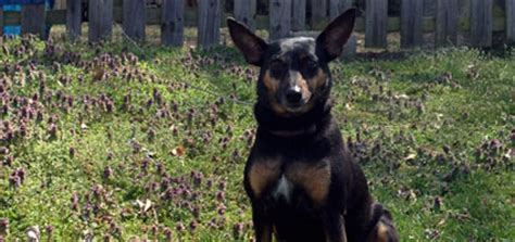 best farm dogs which are the best farm dogs