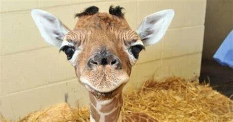 jirafas imagenes graciosas animales tiernos y divertidos jirafa bebe