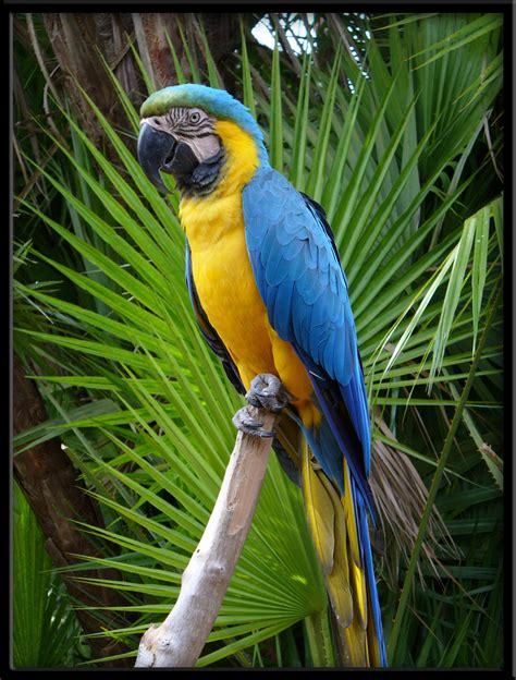 blue macaw by linmorash on deviantart