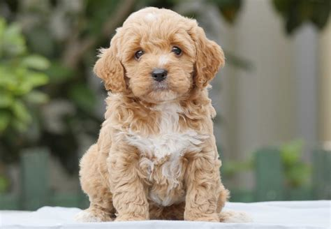 puppy this cavoodle puppies for sale chevromist kennels