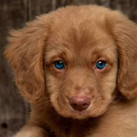 brown golden retriever puppies 1000 images about golden retriever puppies on golden retriever puppies