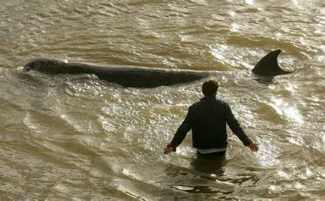 thames river animals river thames now fit for porpoise says wildlife study