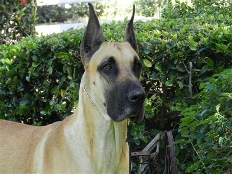 akc lookup great dane for sale by danes american kennel club