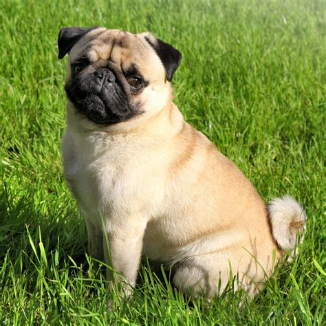 pug breed information pug dogs breed information omlet