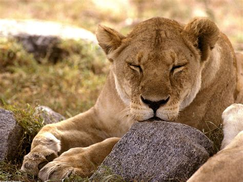 wallpapers african animals wallpapers