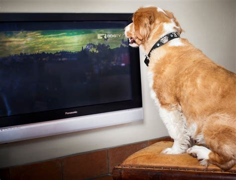 dog watching tv on couch if they could talk couch potato pet tv for cats and dogs