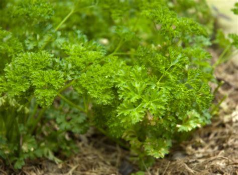 Petersilie Garten Pflanzen by Petersilie S 228 En Jetzt Das Bekannte Z 252 Chten Garten