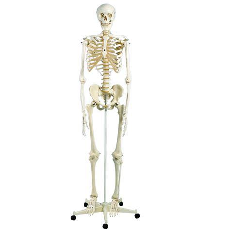 Beschriftung Skelett by Skelett Kaufen Test Testsieger Preisvergleich