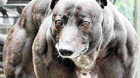muscular dogs genetically engineered muscular dogs scientists