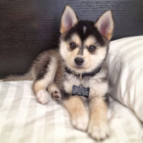 free pomsky puppies what do you about the hybrid pomsky pouted magazine