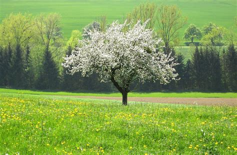 wallpaper of apple tree apple tree wallpapers wallpaper cave