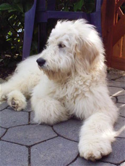 mini goldendoodles western ny goldendoodle the free encyclopedia goldendoodle