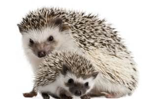 hedgehogs as pets everything you need to per your pet