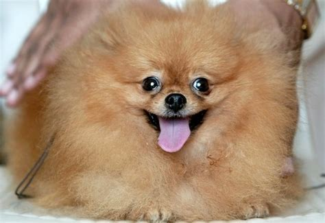 my pomeranian is constipated news flash status does not prevent constipation diagnosis