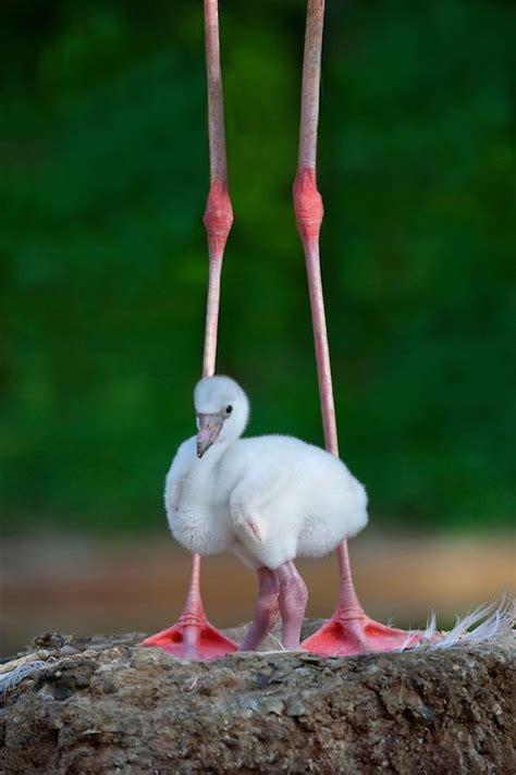 Baby Pink Flamingo baby pink flamingo birds flamingos pink