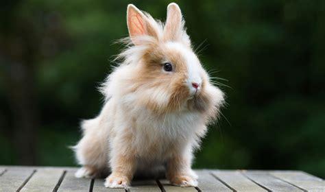coniglietti nani alimentazione coniglio nano domestico razze comportamento e prezzo