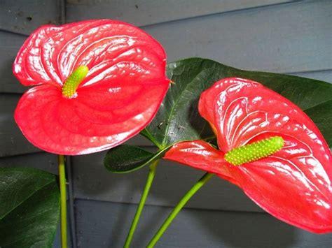 fiore anturium anthurium fiore fiori delle piante caratteristiche