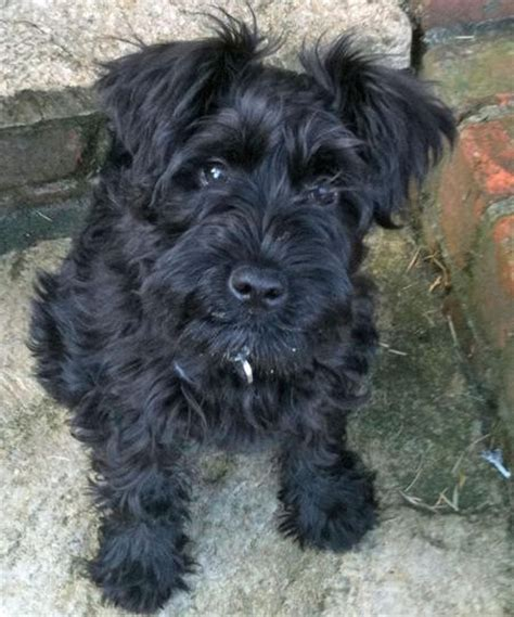 pictures miniature schnauzer with long hair 109 best images about schnauzer tails on pinterest black