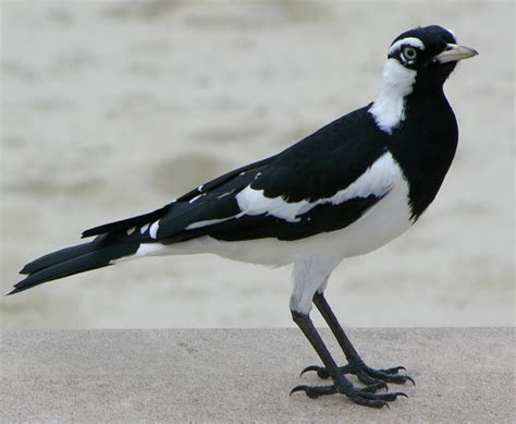 black and white bird bird seen on the coast of