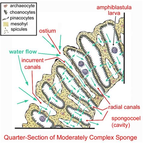 sponge external anatomy diagram zo 150 study aids