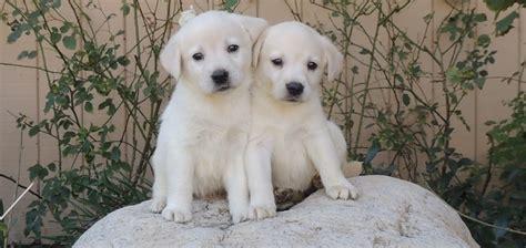 white lab puppy socal labradors