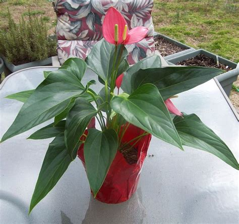 indoor flowers low light flamingo flower anthurium tropical delight great