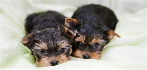 how much to feed a yorkie puppy yorkie vaccination schedule goldenacresdogs